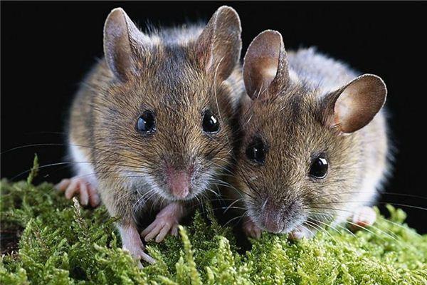 梦见过世的亲人和老鼠