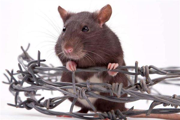 男的梦见抓老鼠
