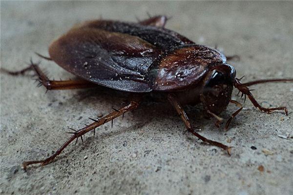 梦见蟑螂是什么意思