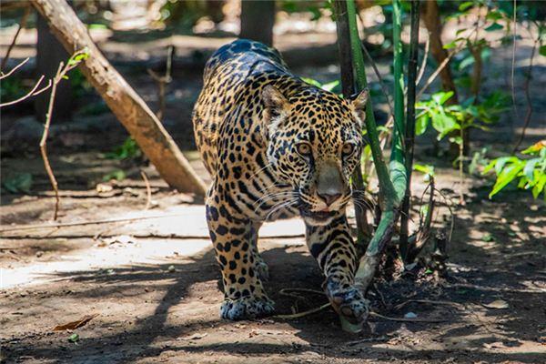 梦见豹子是什么意思
