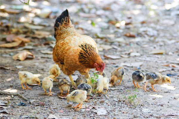 梦见鸡是什么意思