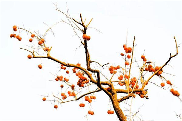 梦见柿子树是什么意思