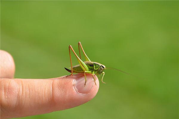 夢見蝗蟲是什么意思