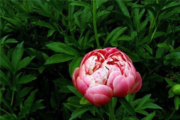 梦见牡丹花是什么意思