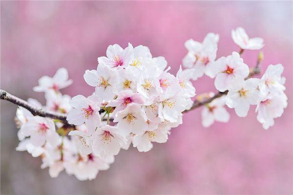梦见樱花是什么意思