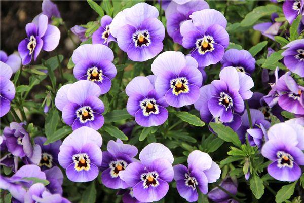 梦见紫罗兰是什么意思