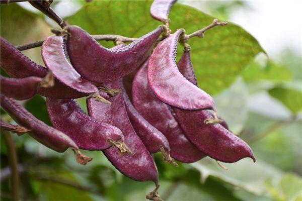 梦见扁豆是什么意思