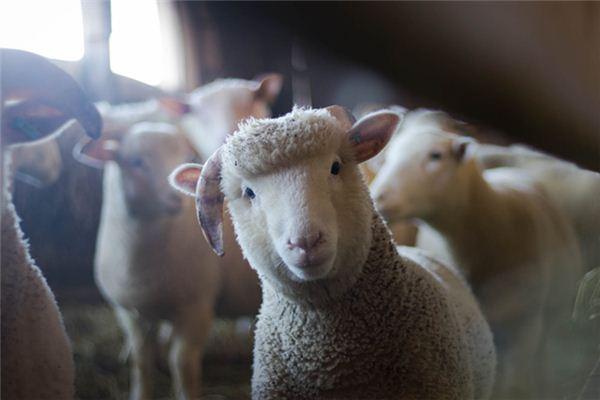 梦见绵羊是什么意思