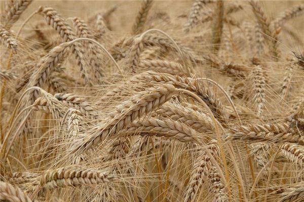 梦见大麦是什么意思