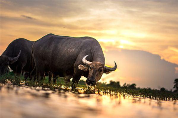 梦见水牛是什么意思