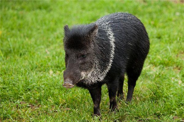 梦见野猪是什么意思