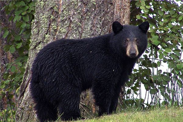 夢見狗熊是什么意思