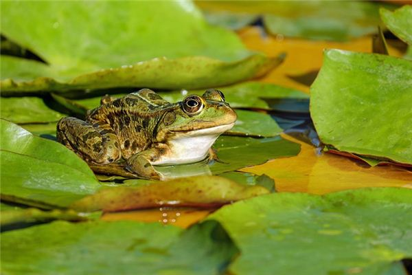 梦见青蛙是什么意思