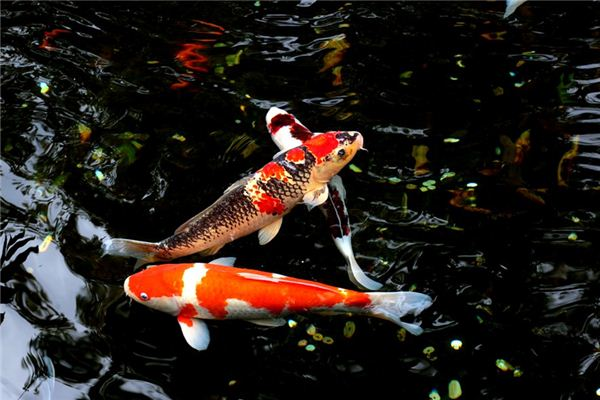 梦见鲤鱼是什么意思