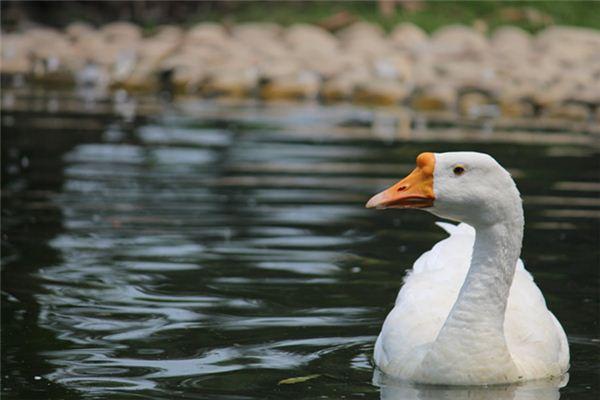 夢見鵝是什么意思