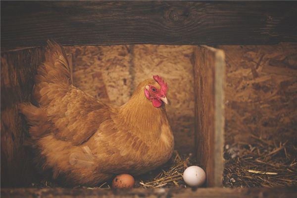 梦见母鸡是什么意思