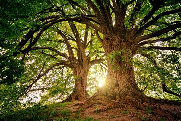 梦见大树是什么意思