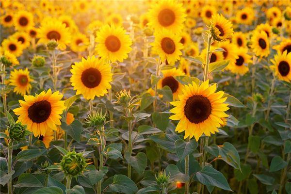 夢見向日葵是什么意思