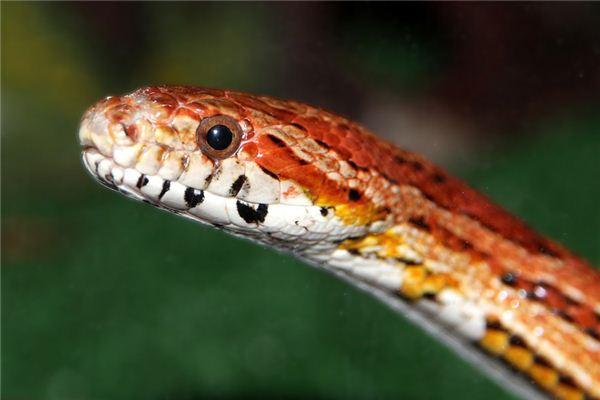 梦见红蛇是什么意思