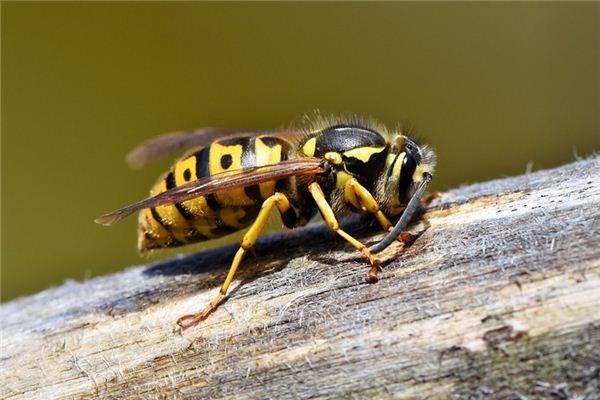 梦见黄蜂是什么意思