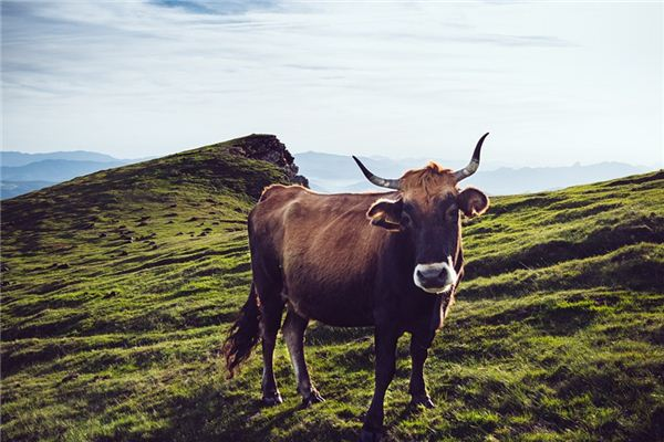 夢見牛是什么預兆