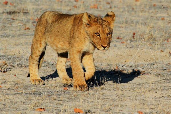 梦见狮子是什么意思