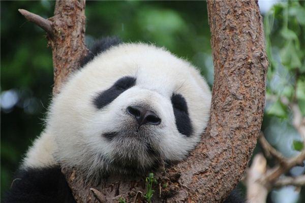 夢見熊貓是什么意思