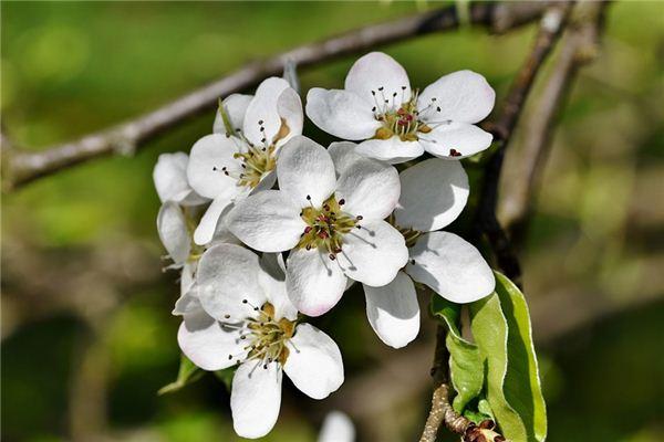 梦见梨树是什么意思