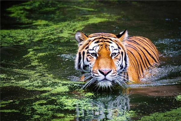属虎的性格和脾气