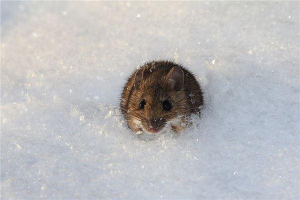 属鼠寿命活多大