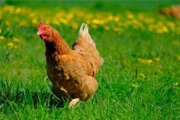 十二生肖鸡与什么相配