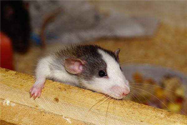 属鼠的是哪一年出生的