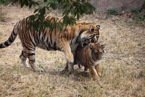 周公解梦 动物 哺乳类     梦见老虎吼叫是什么意思?