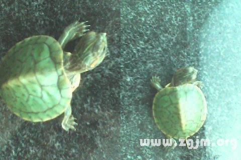 梦见乌龟吃鱼