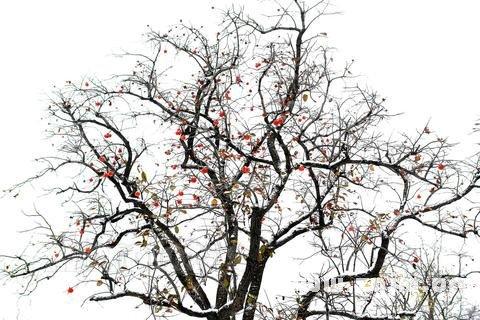 梦见柿子树