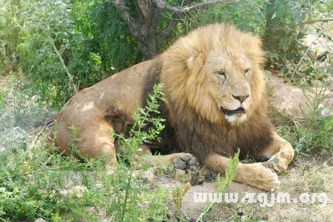 梦见狮子 雄狮