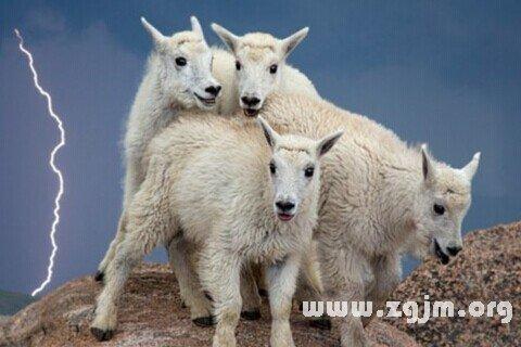 梦见山羊羔