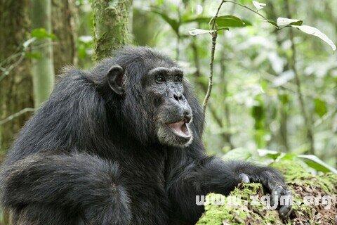梦见巨型猩猩