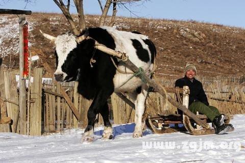 梦见路两边有牛