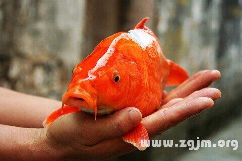 梦见红鲤鱼