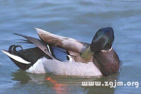 梦见倒水给鸭子洗澡
