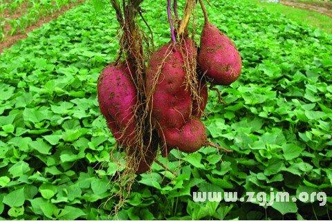 庄闲游戏红薯