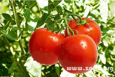 梦见西红柿