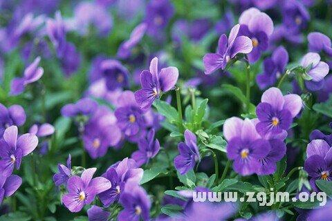 梦见紫罗兰