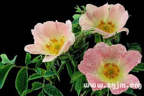 梦见野蔷薇