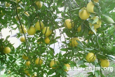 庄闲游戏果树