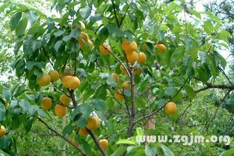 商人梦见杏树,是发财的预兆