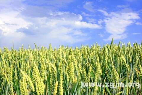 庄闲游戏麦地