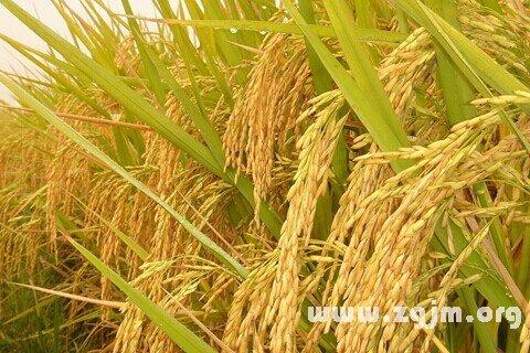 庄闲游戏水稻