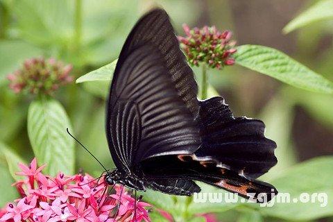 梦见黑蝴蝶